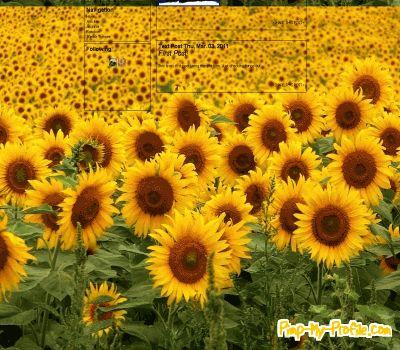 Sunflower galore Tumblr Themes - Pimp-My-Profile.com