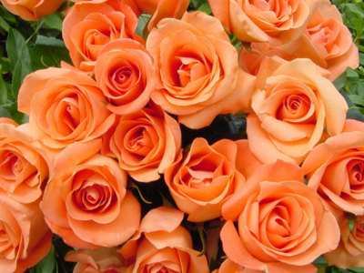 Peach roses facebook timeline cover backgrounds pimp my - Peach rose wallpaper ...